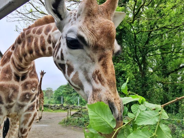 Dando de comer a las jirafas