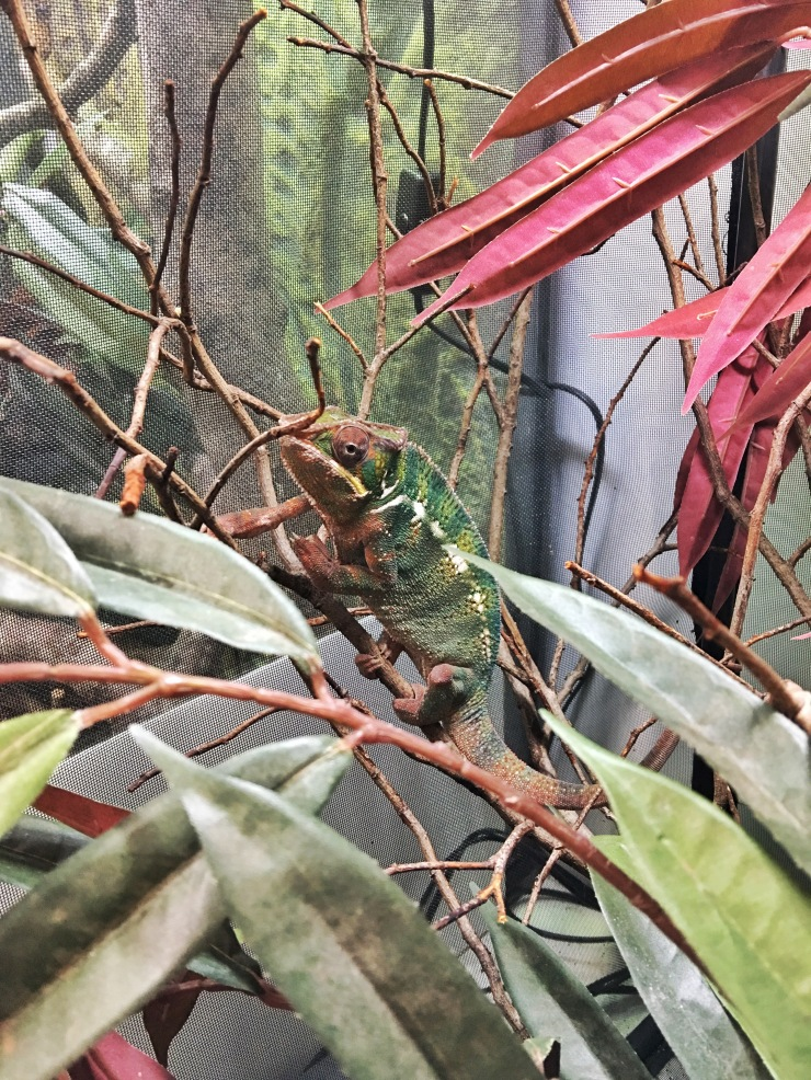 Un camaleón en The Nursery del zoo de Paignton