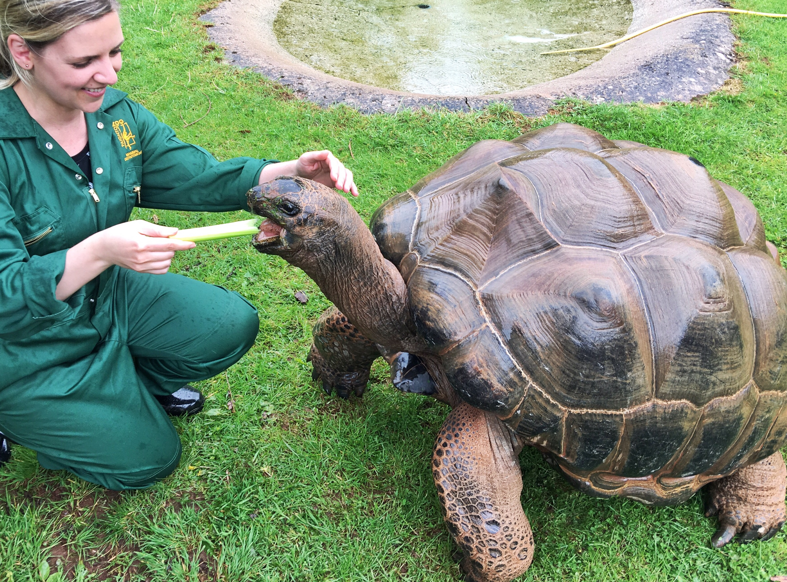 Dando de comer a las tortugas gigantes del zoo de Paignton