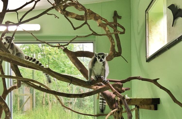 Visitando a los lémures del zoo de Paignton