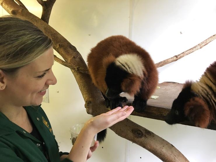 Dando de comer a los lémures del zoo de Paignton