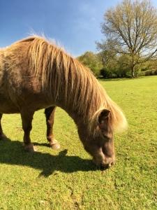Miniature Pony Center Devon 01