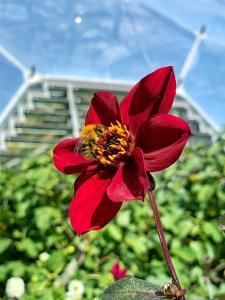 Abejas y dalias en el jardín botánico Proyecto Edén en Cornualles